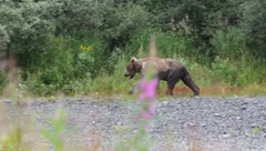 Alaskan Brown Bear(HD)c Stock Footage
