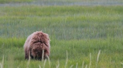 Grizzly Bear Cub Joins Mom Stock Footage
