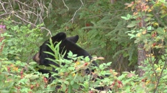 Black Bear Eating Berries 1 Stock Footage