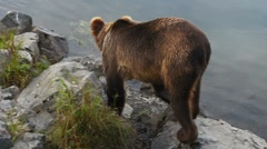 Brown Bears Kodiak Island Stock Footage