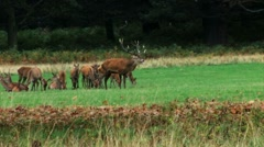 A Stag in Richmond Park - stock footage
