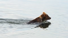 Kodiak Bear Swims Eats Fish Stock Footage