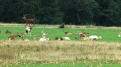 Gathered deers and stags Stock Footage