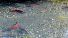 Sockeye and chum salmon ready to span Stock Footage