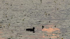 Coot at sunset searching for food Stock Footage