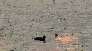 Stock Video Footage of coot at sunset searching for food
