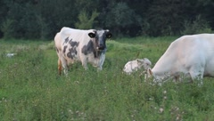 Ruminating and grazing cows Stock Footage