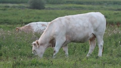Grazing cow Stock Footage