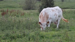 grazing cow - stock footage