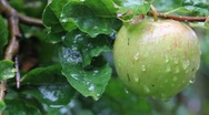 Stock Video Footage of wet apple in the rain in a tree