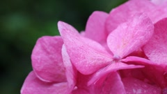 pink hydrangea in the rain - stock footage