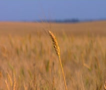 Stalk of Wheat Stock Footage