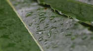 Stock Video Footage of green leaf in the rain