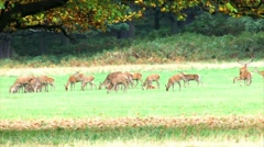 Herd of deer Stock Footage