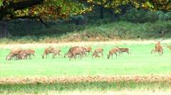 Herd of deer - stock footage