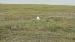 White Owl(HD)c Stock Footage