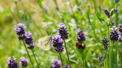 Butterfly on lavender Stock Footage