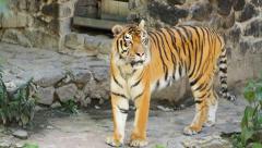 Beautiful tiger Stock Footage