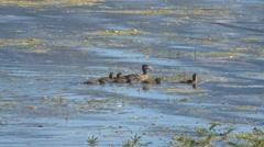 Brood of Swimming Ducks Stock Footage