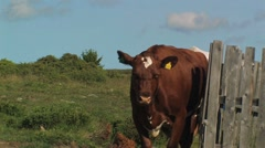Cow at a shieling Stock Footage