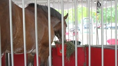 Clydesdale eating Stock Footage