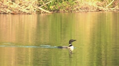Loon Swimming and Diving 2 Stock Footage