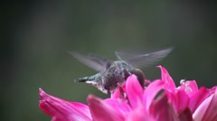 Hummingbird in deep pink lilies Stock Footage