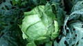 Cabbage, Vegetables BIO Farm, Ecological Farmer, Organic Horticulture Footage