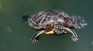 A closeup of a turtle swimming in a pond Stock Footage