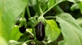 Eggplant, Vegetables BIO Farm, Ecological Farmer, Organic Horticulture Footage
