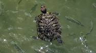 A closeup of a turtle swimming with  a fish in a pond 2 Stock Footage