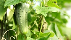 Cucumber, Vegetables BIO Farm, Ecological Farmer, Organic Horticulture Stock Footage