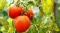 Tomato, Vegetables BIO Farm, Ecological Farmer, Organic Horticulture Footage