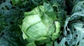 Cabbage, Vegetables BIO Farm, Ecological Farmer, Organic Horticulture HD Footage