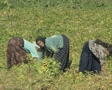Women picking crops in field Footage