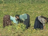 Women picking crops in field Stock Footage