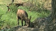 Brown goats grazing Stock Footage