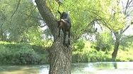 Goat on wilow tree Stock Footage
