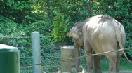 Elephant browsing on grass 10001 Stock Footage