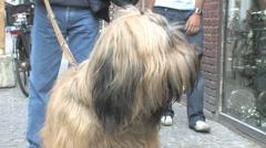 Shaggy dog close up Stock Footage