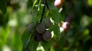 Plum Tree, Gage, Prunus, Fruits Orchard, Ecological Farmer, Organic Horticulture Stock Footage