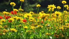 Wild poppies and daisies Stock Footage