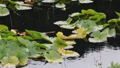Lilypads(HD)c Stock Footage