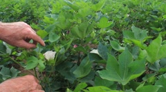 Cotton Crop Inspection Stock Footage