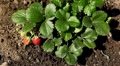 Fragaria, Strawberry, Fruits Orchard, Ecological Farmer, Organic Horticulture Footage