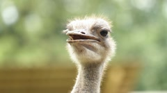 Stock Video Footage of Portrait of Ostrich