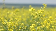 Stock Video Footage of Yellow field panning - summer rape flowers in the breeze