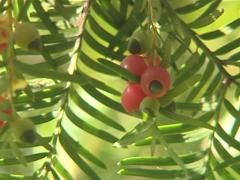 Bunches of yew berries on barbed twigs move in the wind. Stock Footage
