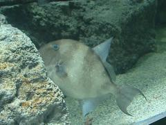 A huge flat fish in the zoo aquarium Stock Footage