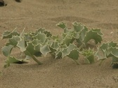 Zoom out from holly in sand Stock Footage